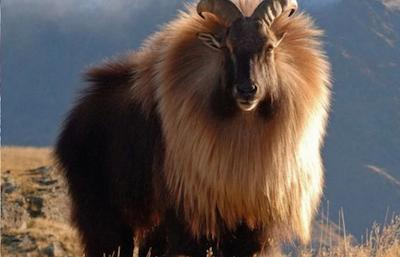 The Himalayan tahr (Hemitragus jemlahicus) - Photo from the Wikimedia Commons