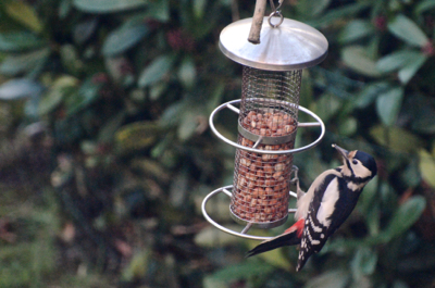 The great spotted woodpecker in our garden