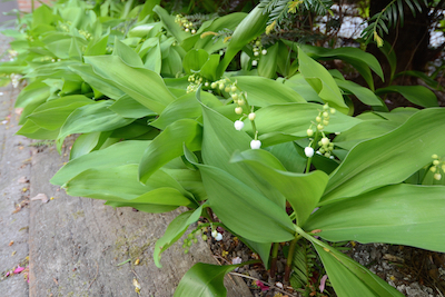 """Lilies of the Valley (Convallaria majalis) or """"meiklokjes"""" in our front yard"""